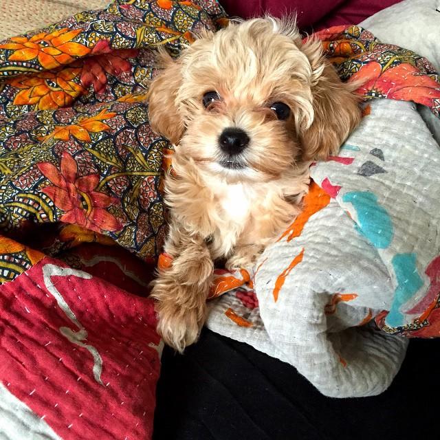 blonde-maltipoo-puppy