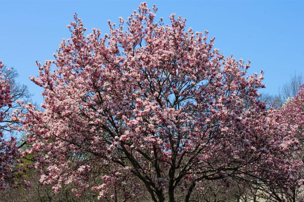 pink-magnolia-tree