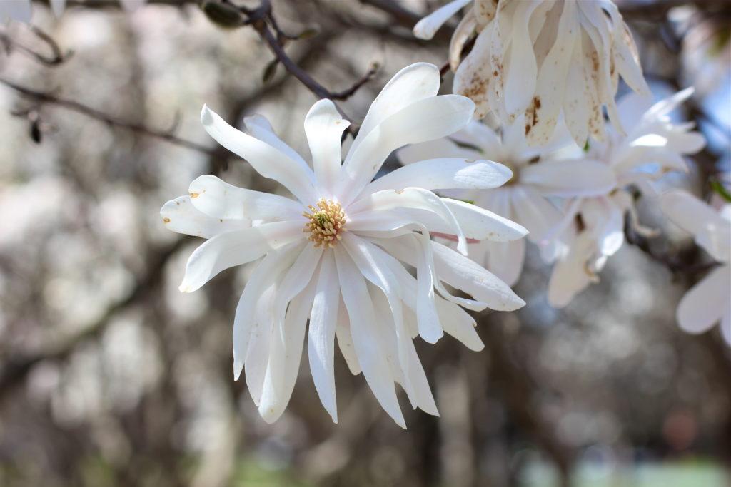 white-magnolia-bloom