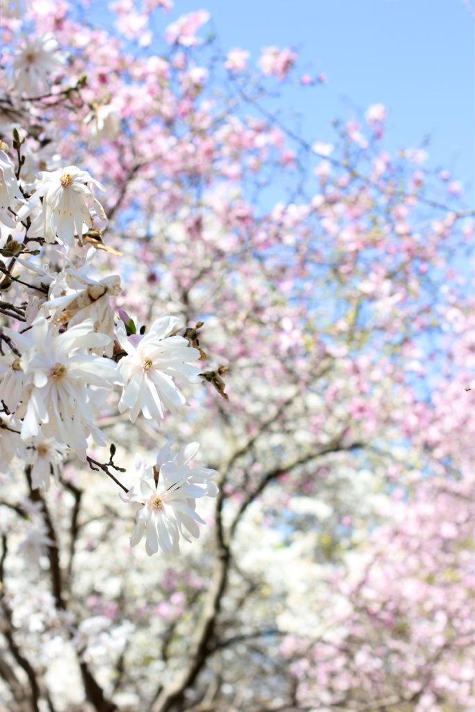 white-magnolia-tree