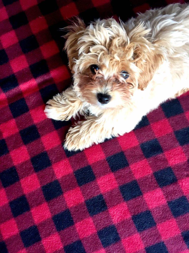 reagan-maltipoo-puppy