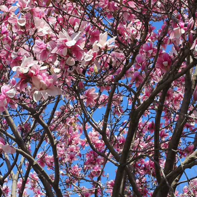 magnolia-trees-goodale-park-spring
