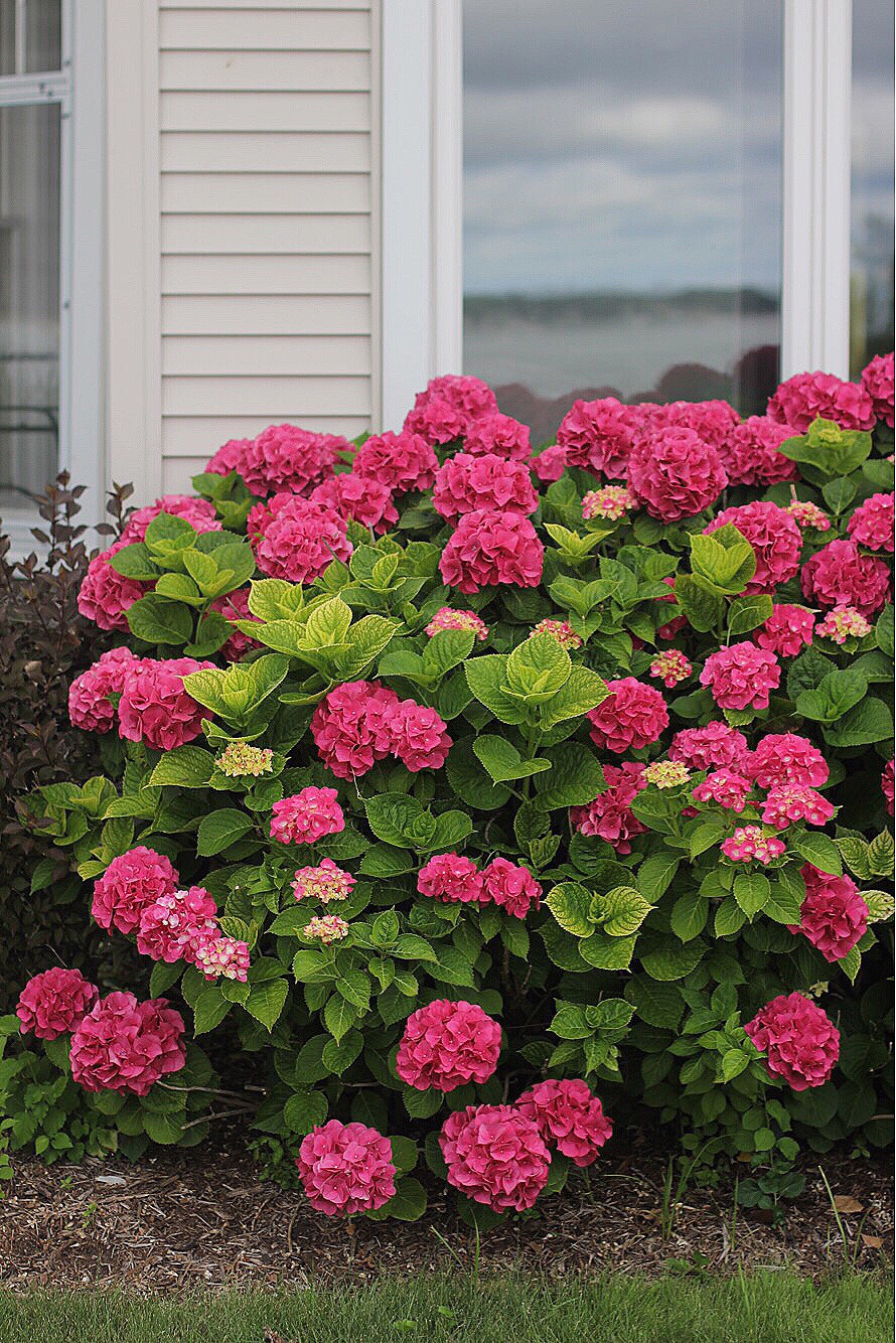 hydrangeas in holland, michigan