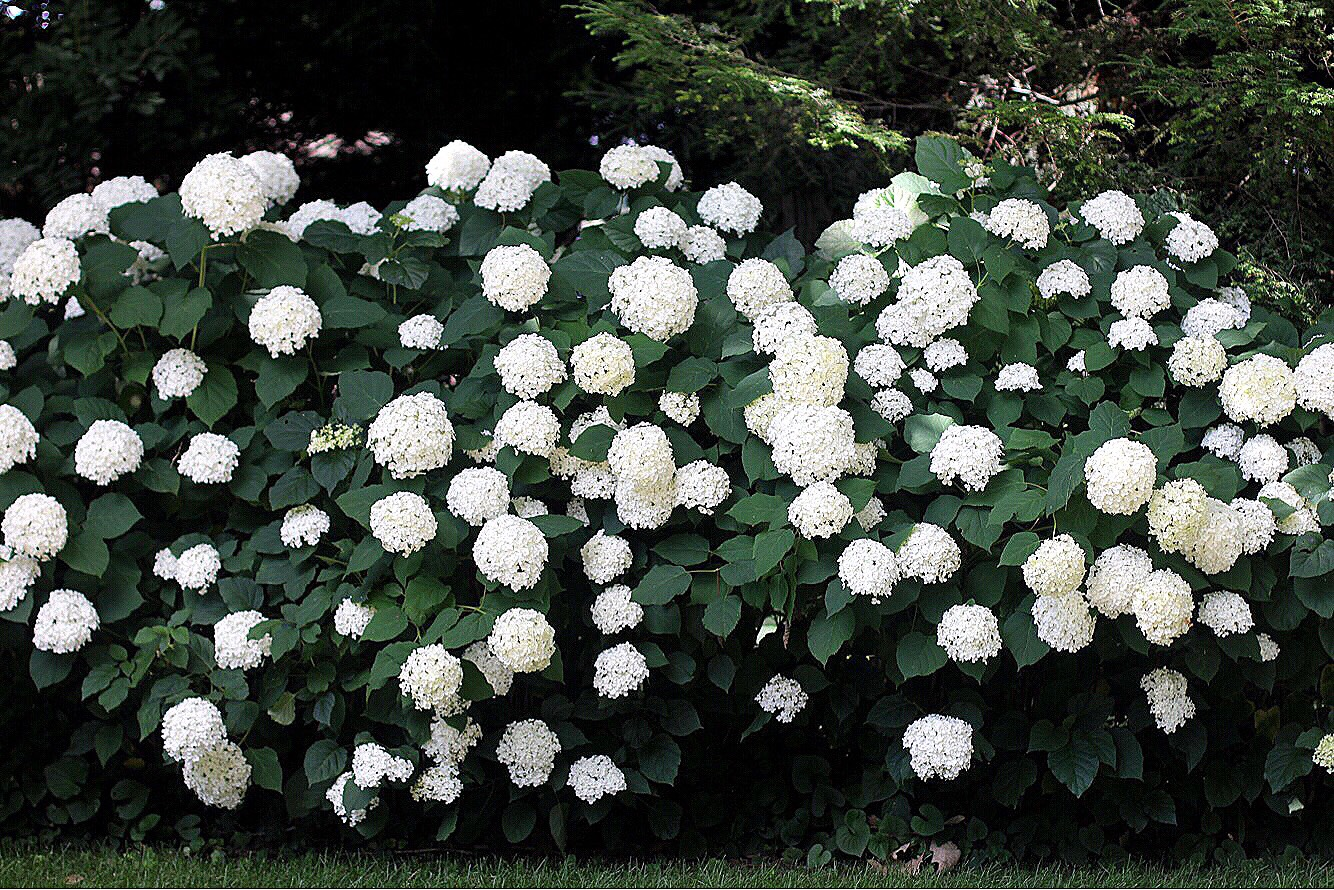 annabelle hydrangeas in michigan